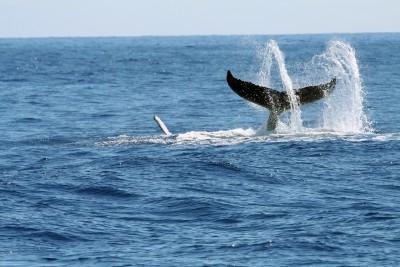 Cape_Cod_whale_tail_804565