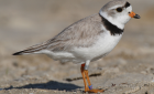 Pipping Plovers on Cape Cod