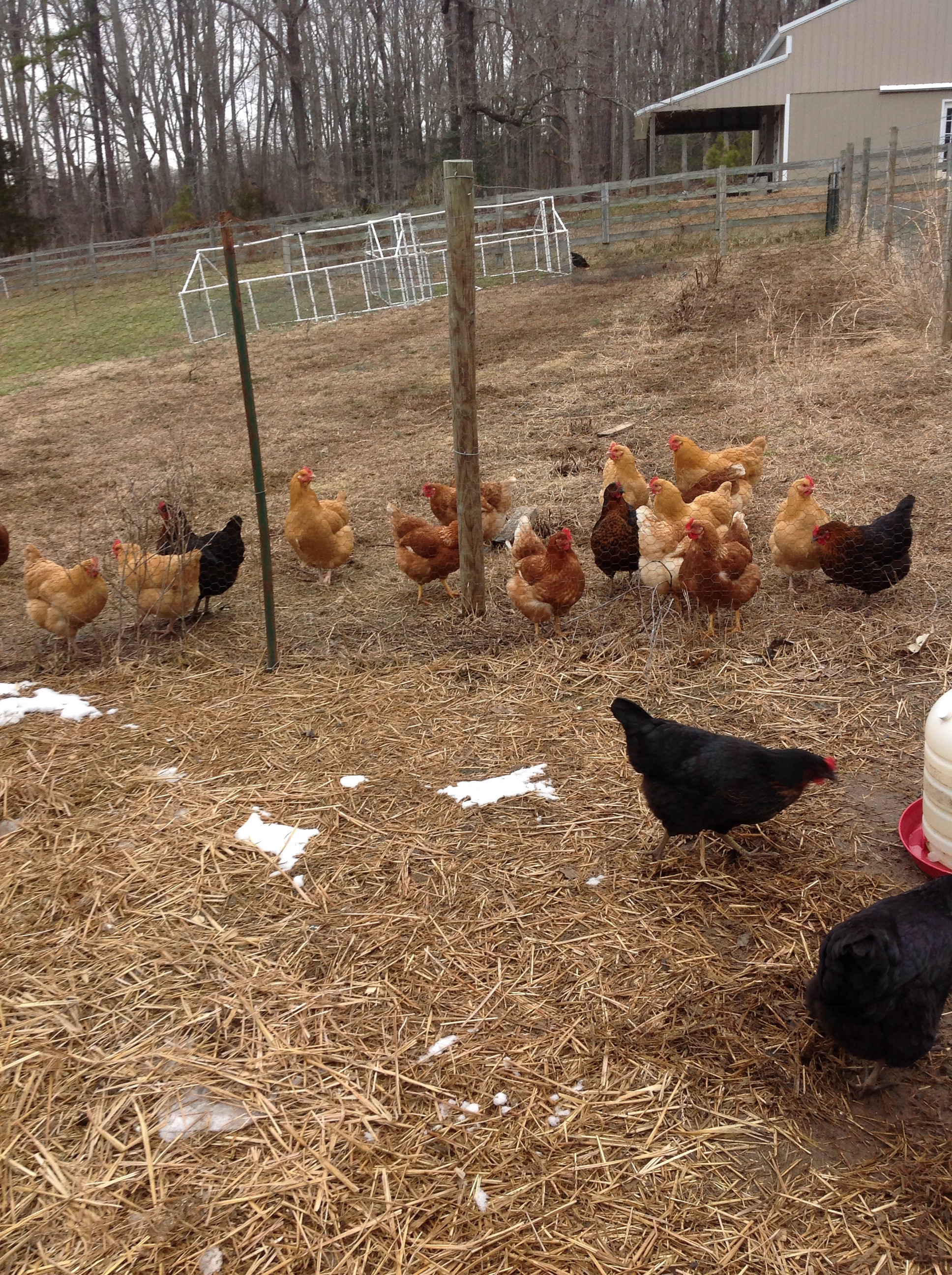 New chickens for fresh eggs