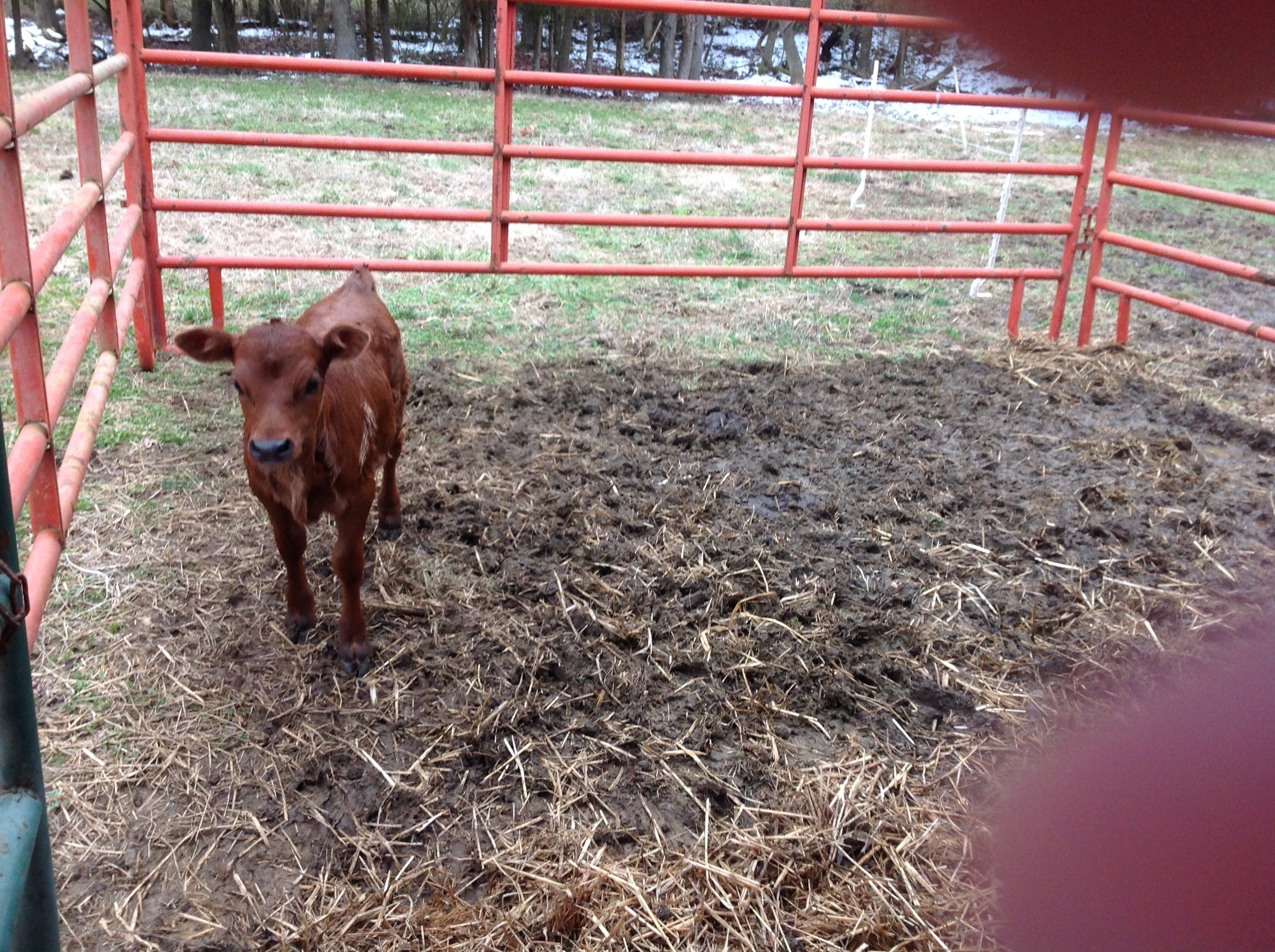 New calf.....name TBD