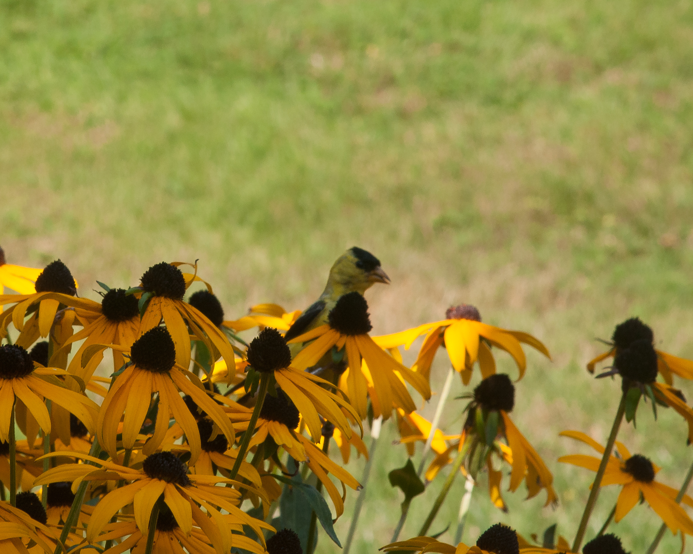 Finch resting in our Lazy Susans last summer