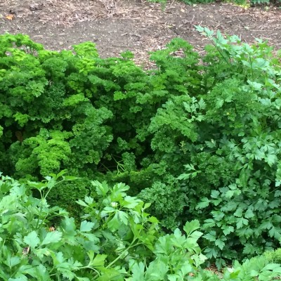 Fresh parsley from our garden