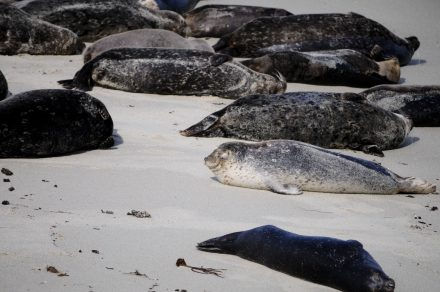 Sunbathing Seals on Monomoy