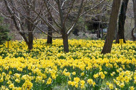 Daffodils in Brewster