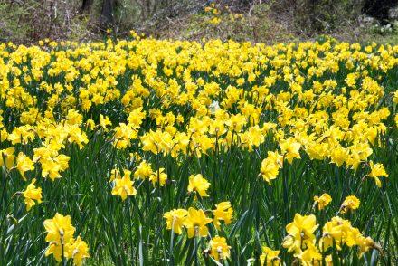 Spring daffodils in Brewster