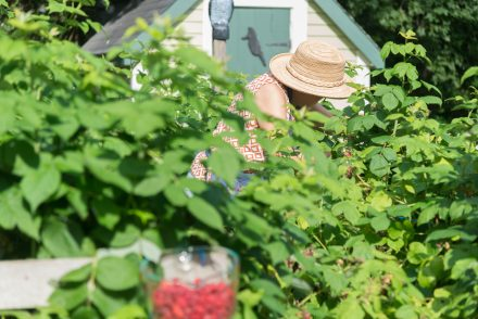 Raspberry garden at the inn
