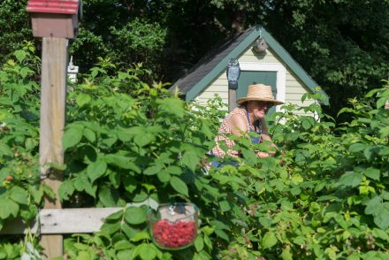Raspberry patch at the Freeman