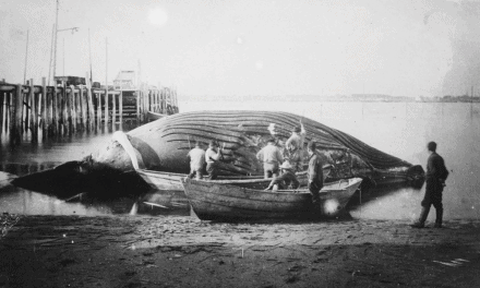 Old picture of a whale being brought into the harbor