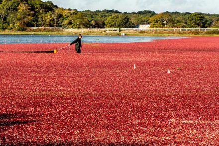 a farmer in the mmiddle of a cranberry bog harvesting cranberries