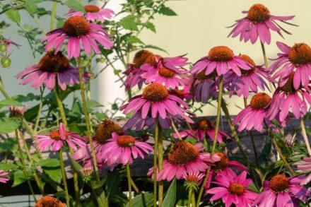 Cone flowers in the garden